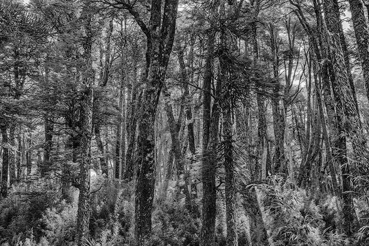 Conguillío tree trunks in Black & White